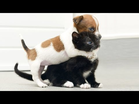Cat Meets Puppy ★ Cats Meeting Puppies For First Time (HD) [Funny Pets] - UCeZe0VwwhEf8KTI2FHfJtTg