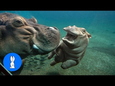 Baby Hippos Swimming - CUTEST Compilation - default