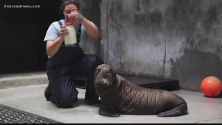 Seaworld welcomes new 150-pound baby walrus