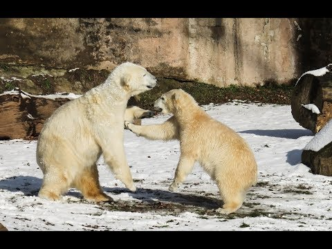 Breaking: Polar Bears attacking Humans! Radiation Poisoning? 300,000 cattle die in Australia flood