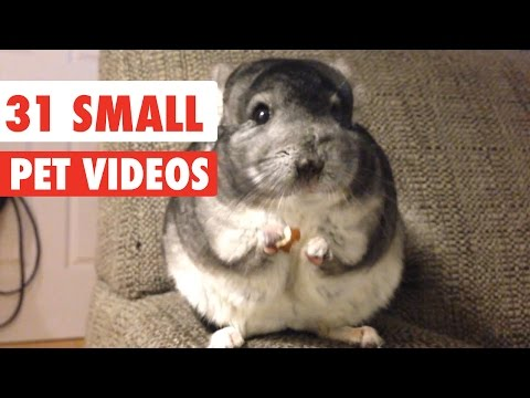 31 Small Pet Videos Compilation 2016 - UCPIvT-zcQl2H0vabdXJGcpg