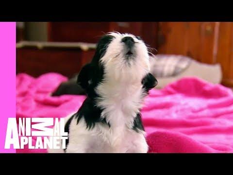 Puppies and Kittens Squeak to Silent Night | Too Cute! - UCkEBDbzLyH-LbB2FgMoSMaQ