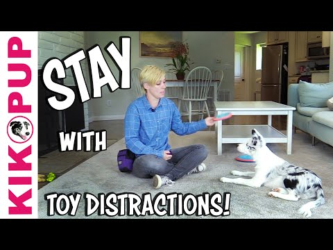 The BEST way to train STAY with TOY DISTRACTIONS