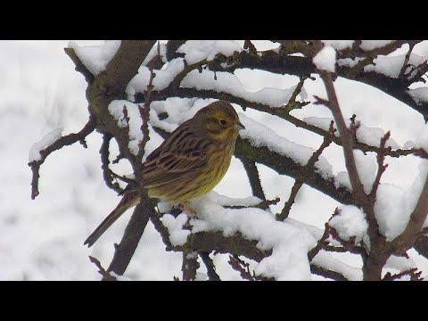 Trznadel - zimną dokarmiamy ptaki: ulubiony pokarm trznadli