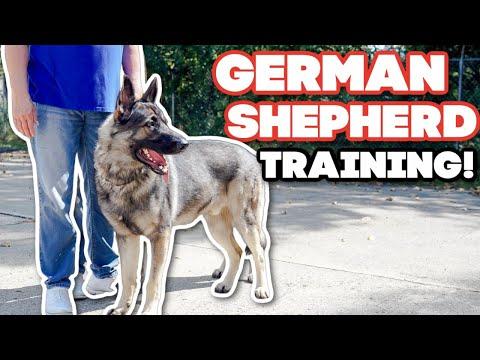 TRAINING A GIANT POWERFUL GERMAN SHEPHERD!