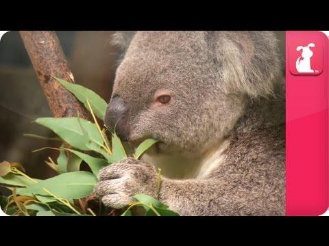 Bindi & Robert Irwin feature - Koala (April) - Growing Up Wild - UCPIvT-zcQl2H0vabdXJGcpg