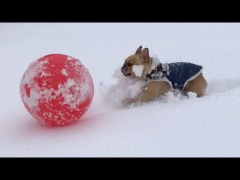 French Bulldog Tries to Play with Ball in Deep Snow