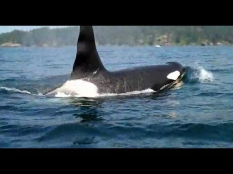 Kayaking with Orca, or Killer Whales off Sooke, BC on Vancouver Island.