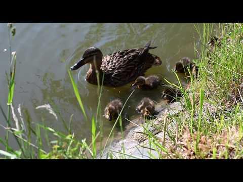 Kačena a její mláďata :)