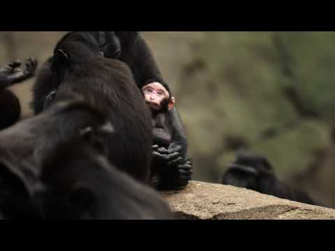 Our new arrival Amidala is the centre of attention amongst our troop of Sulawesi crested macaques...