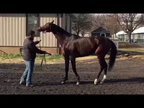 Matterhorn- stallion prospect for sale