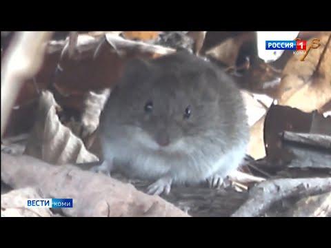 Специалисты Россельхозцентра советуют не затягивать с уборкой картофеля из-за нашествия мышей