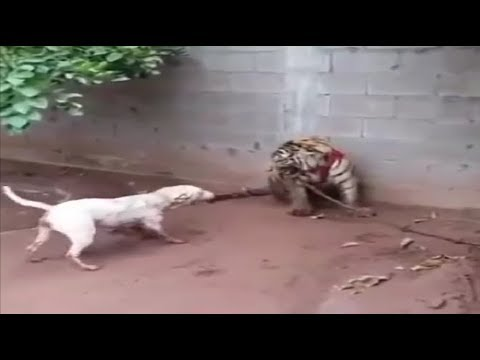 Bull terrier comes face to face with a tiger!!! - UCI-mqa072aPsYSijI3pzxzw