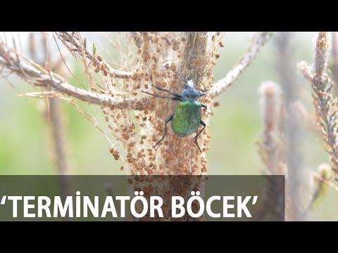 Çam Kese Böceğine Karşı Doğaya 'Terminatör Böcek' Salındı
