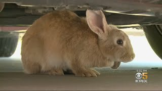 Bunny Rabbit Invasion In Antioch Neighborhood Causes Headache For Residents