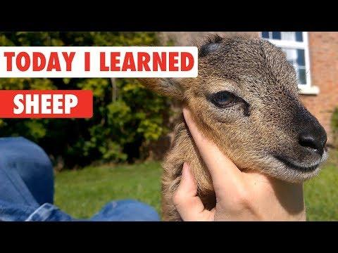 Today I Learned: Sheep - UCPIvT-zcQl2H0vabdXJGcpg
