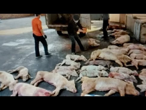 Where Did All The Water Go ? China Pig Apocalypse