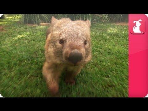 Bindi & Robert Irwin feature - Wombat (Kato)- Growing Up Wild. - UCPIvT-zcQl2H0vabdXJGcpg
