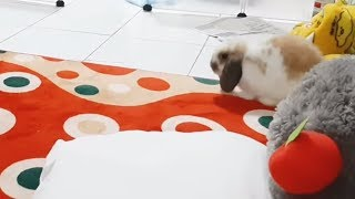 Playful bunny rabbit can't stop doing binkies