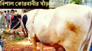 Biggest Qurbani cow in Bangladesh 2019 - Organic White deshal