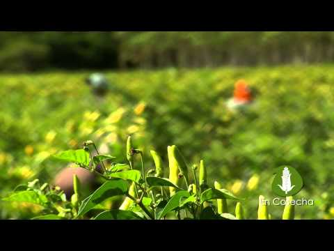 En Cosecha: Ají, una actividad agrícola promisoria. - UC9wo49cS0HxesZyhBBd1W1g