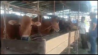 Penjual Hewan Kurban Mulai Menjamur di Kabupaten Belitung
