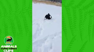 Playful Dog Chases Tail in Snow | Animals Doing Things Clips
