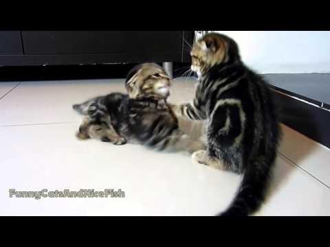 Cute Kittens Fight Club | Part 1 - UCERQZLRMniqsMlgBxme32cQ
