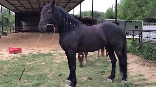Playful horse takes over his own training