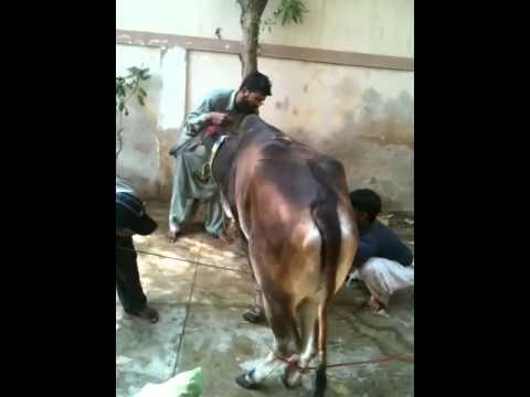 Angry cow & inexperienced Qasai