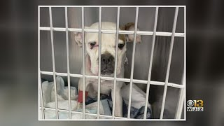 'Shocking, Disturbing And Horrific': BARCS Hoping To Save Dog Found With Severe Neck Injuries