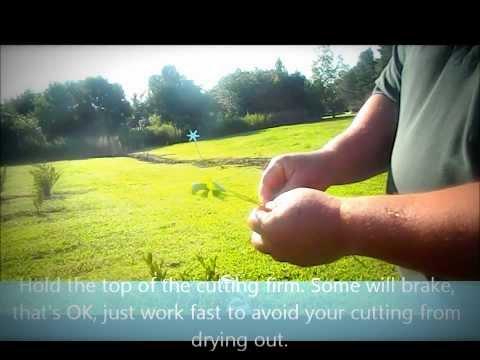2013 Rooting Blueberry Cuttings - UCh9koUO3ZtzILSTbulkhM6A
