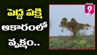Tree At Road Side Attracts Prakasam District Public Which Has Bird Outline | Prime9 News