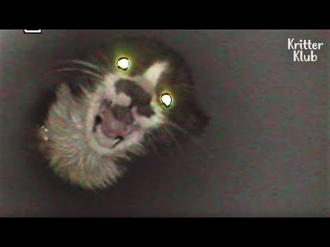 Boru İçine Sıkışan Yavru Kediyi Kurtarmak İçin İnsanlardan Yardım İsteyen Kedi