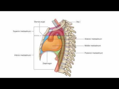 Anatomy 1 | C1 - L5 | Mediastinum