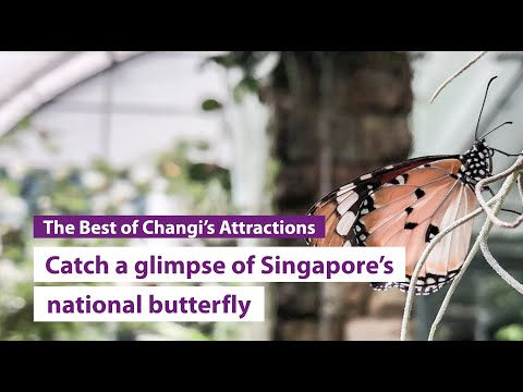 Have you seen Singapore's National Butterfly at Changi Airport?
