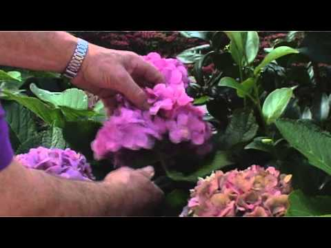 Forever&Ever hydrangea Pruning Instructions