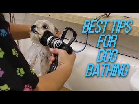 Bathing a Biewer With the My Favorite Groomer