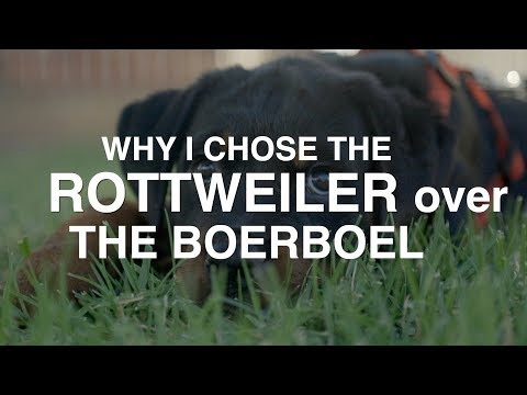WHY I CHOSE THE ROTTWEILER OVER THE BOERBOEL