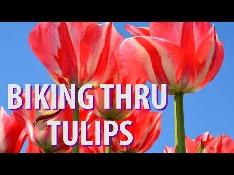 Biking Thru Tulips Amsterdam photo
