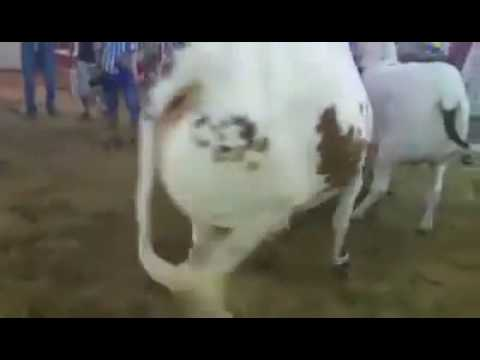 Cows Catwalk In 786 Cattle Farm 2016 Sohrab Goth Mandi