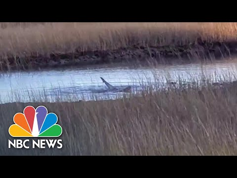 Video Shows Rare Shark Sighting In Cape Code | NBC News NOW