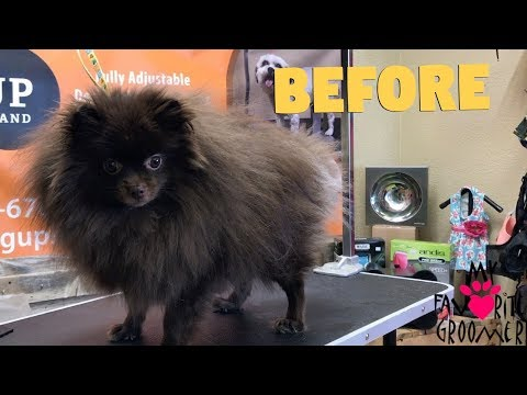 How to groom a Pomeranian Cutest dog ever
