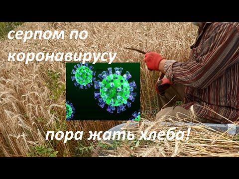 Как жать серпом, работа на земле и коронавирус photo