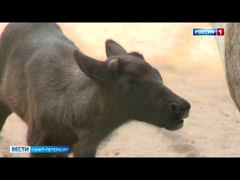 В Ленинградском зоопарке показали детёныша северных оленей