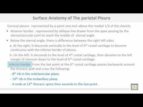 Anatomy 1 | C1 - L11 | Pleura