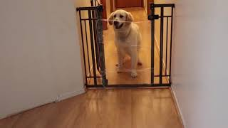 Golden Retriever Nails the Invisible Challenge - 1058032