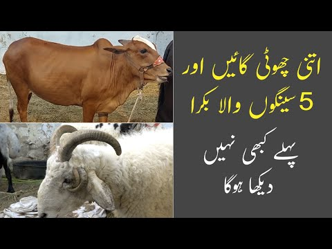 JDC Qurbani For Poor | Teddy Cow | Goat With 5 Horns