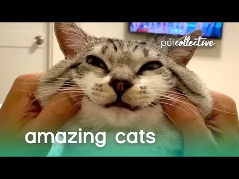 Super Amazing Cats   The Pet Collective - UCPIvT-zcQl2H0vabdXJGcpg
