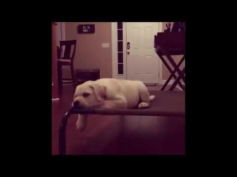 Funny Labradors Epic Dog Fails